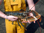 large female lobster